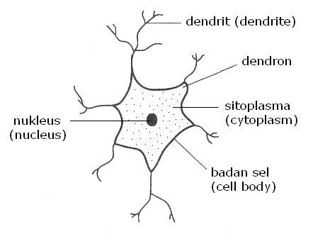 Bab 2 koordinasi badan body coordination nota sains neuron ccuart Choice Image