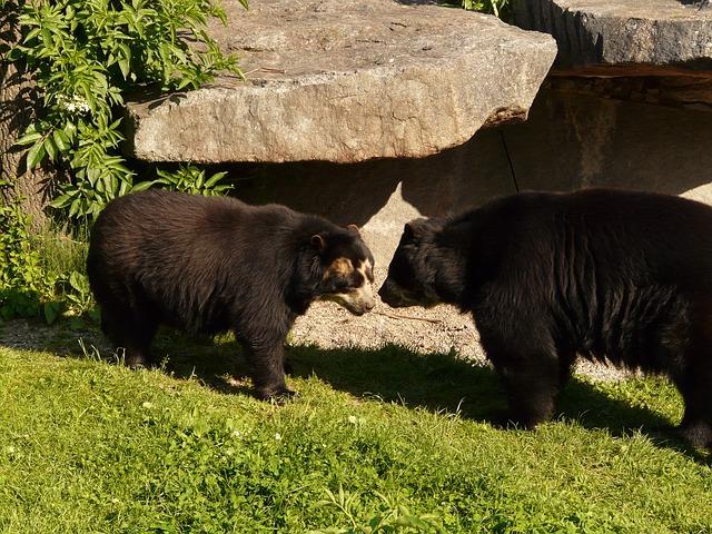 oso de anteojos colombia animales salvajes
