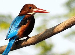 Burung Raja Udang