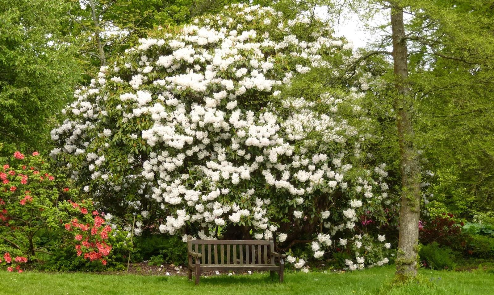 Mon jardin entre terre et mer english gardens la suite - Rhododendron ne fleurit pas ...