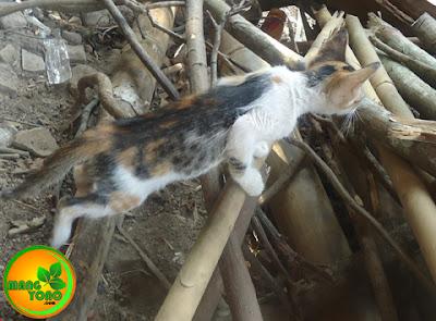 Kucing jantan tiga warna, kembang telon, candra mawat