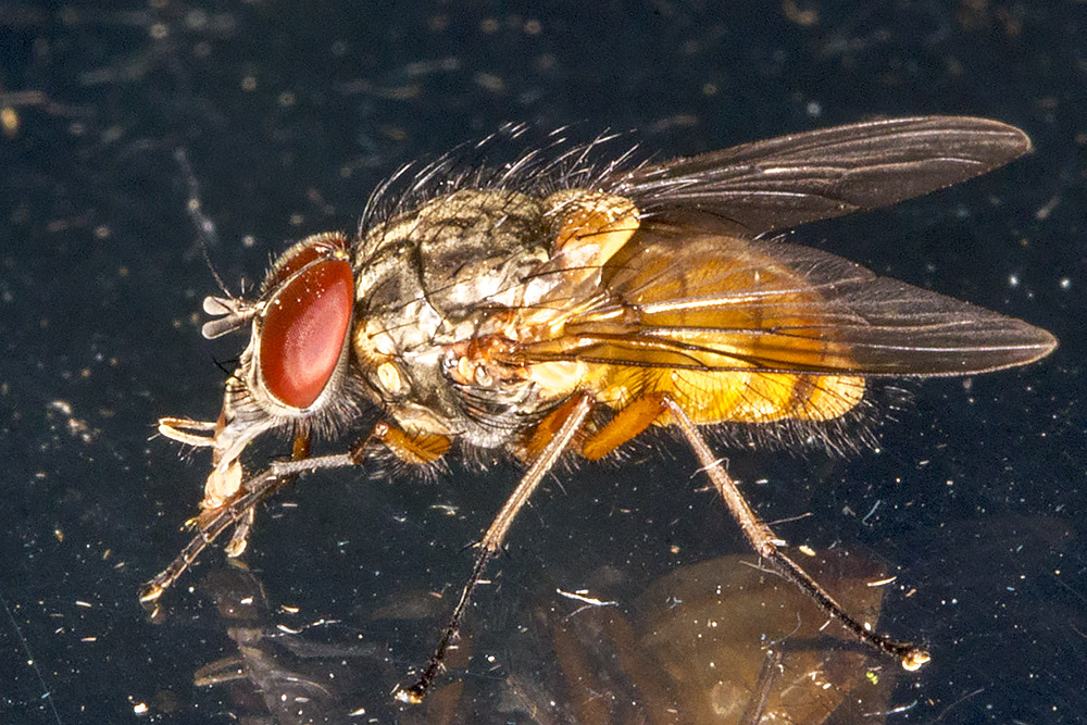 Fly, Phaonia species.  In my garden light trap in Hayes on 14 June 2014.