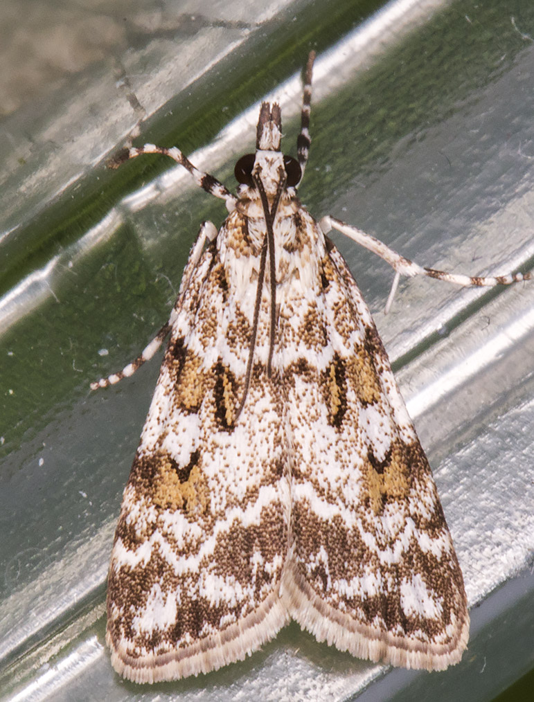 Scoparia pyralella.  Queendown Warren with the Orpington Field Club, 24 May 2014.