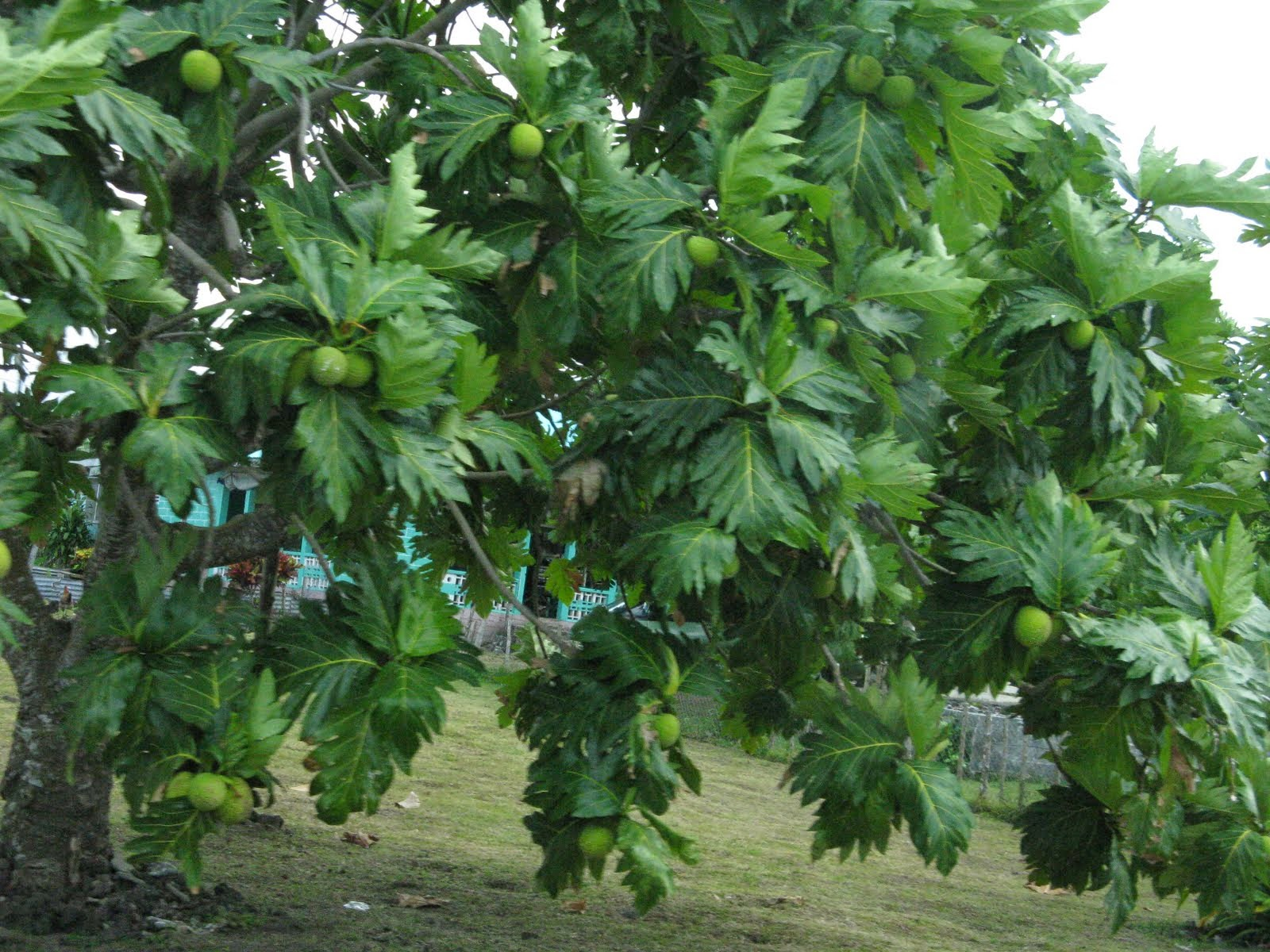 Breadfruit (Artocarpus altilis) Overview, Health Benefits, Side effects