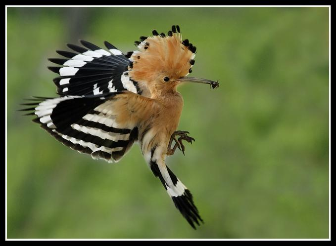 Temperate climate permaculture hoopoe in my backyard