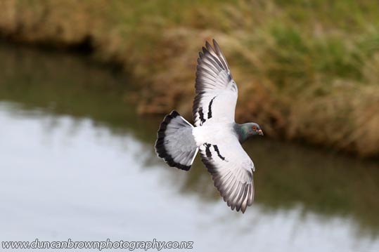 Rock pigeon over the Wairoa River photograph