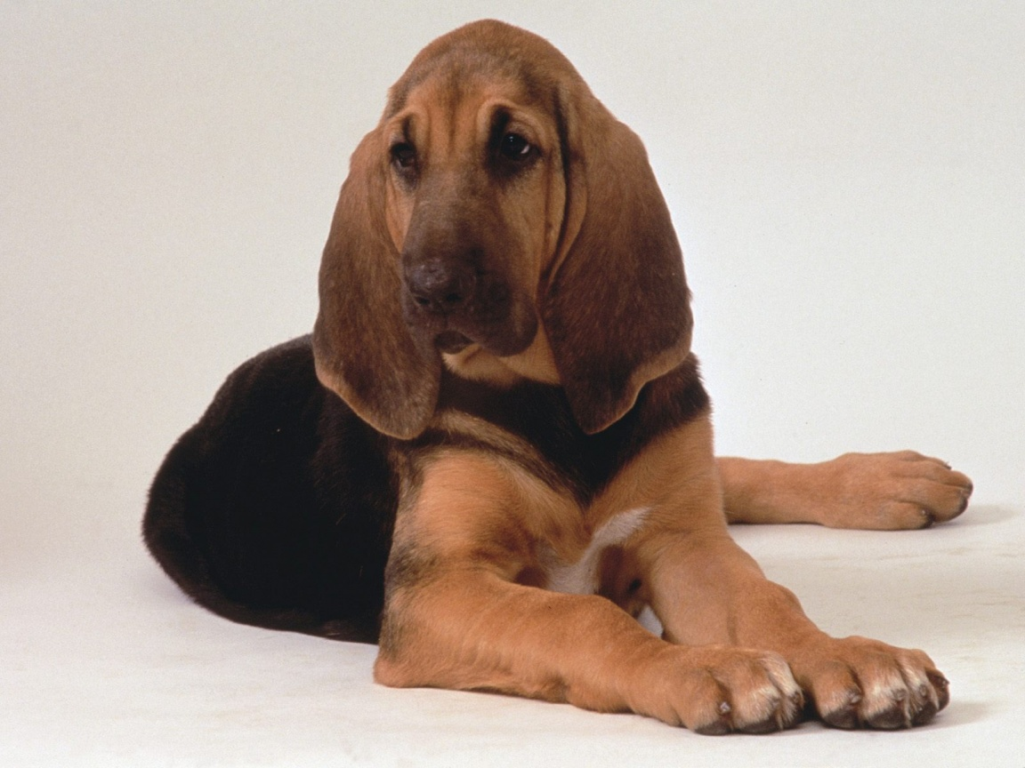 Bloodhounds Wallpapers | Animals Library
