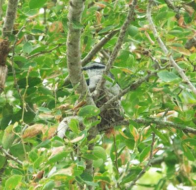 Pied Triller (Lalage nigra)