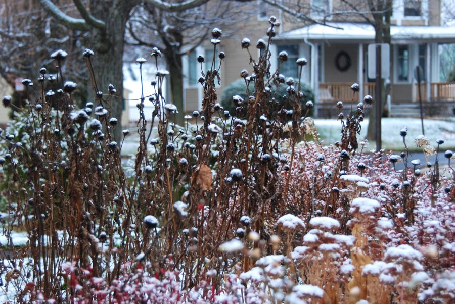 Echinacea purpurea and Sedum 'Autumn Joy' dotted with snow in the Hill Garden.