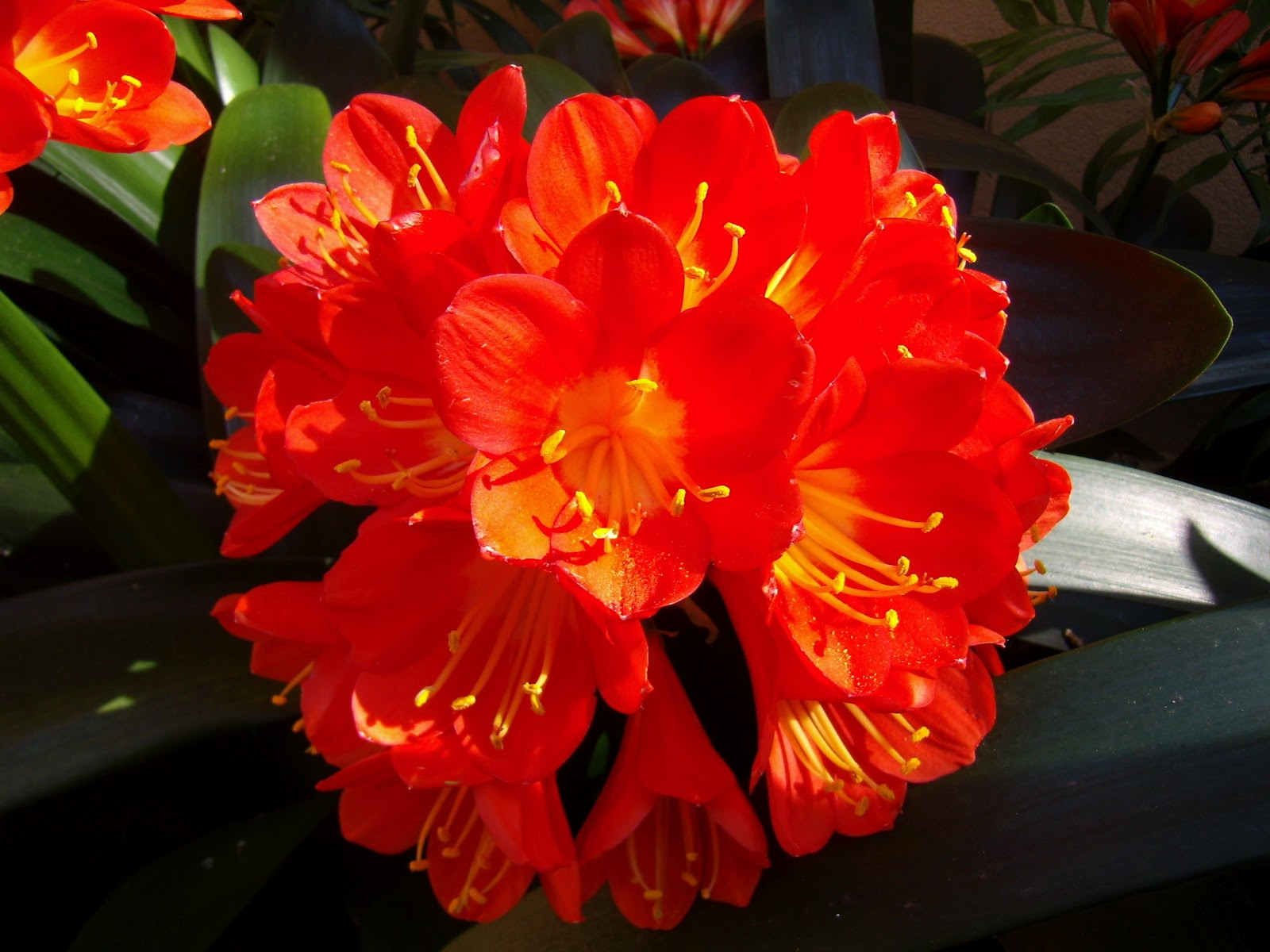 Best Flowers Care Clivia