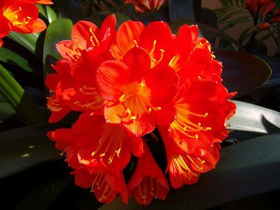 best flower 39 s care clivia. Black Bedroom Furniture Sets. Home Design Ideas