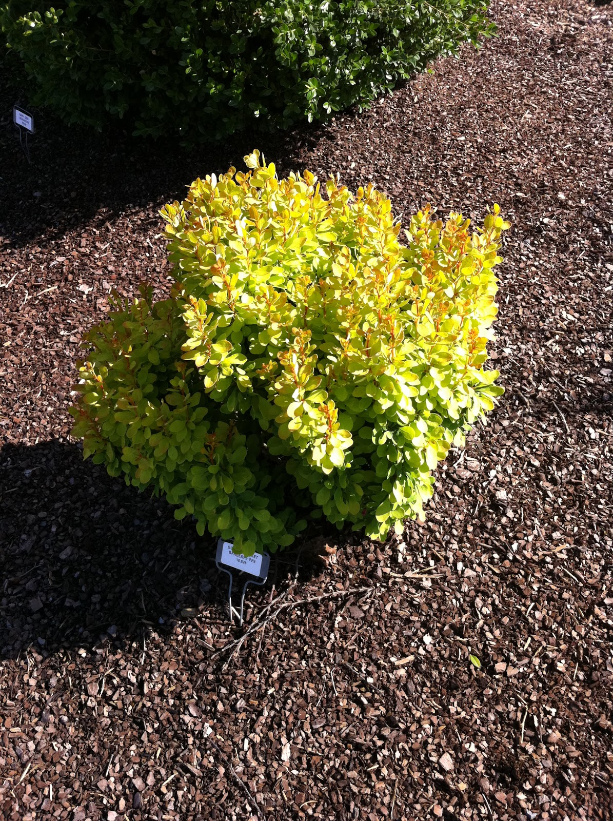 Orange Rocket Barberry in Winter http://plantpreview.blogspot.com/2011/06/patented-tiny-gold-barberry-grows-knee.html