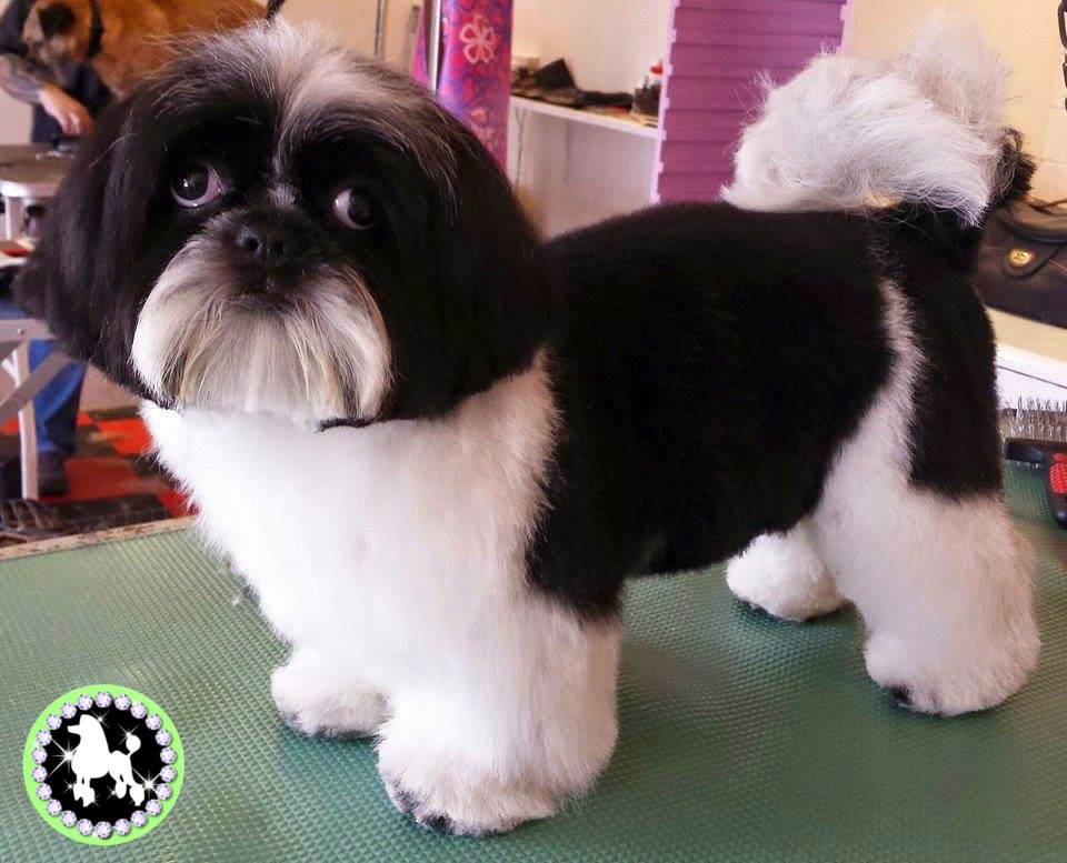 Shih Tzu Dog Groom Before And After Photos Tamworth Dog Grooming