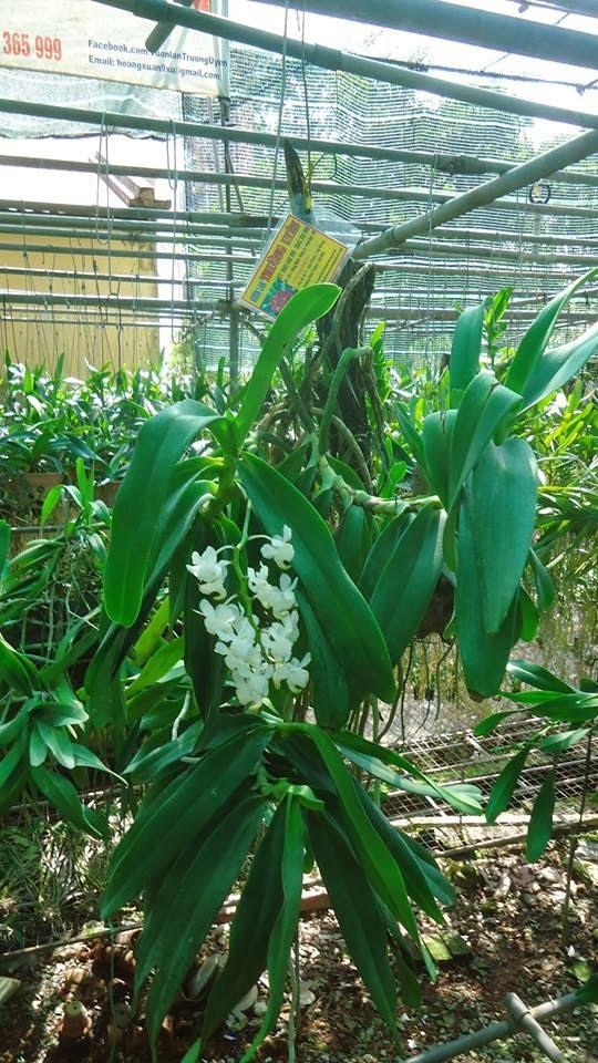 hoa phong lan bach nhan trang 3