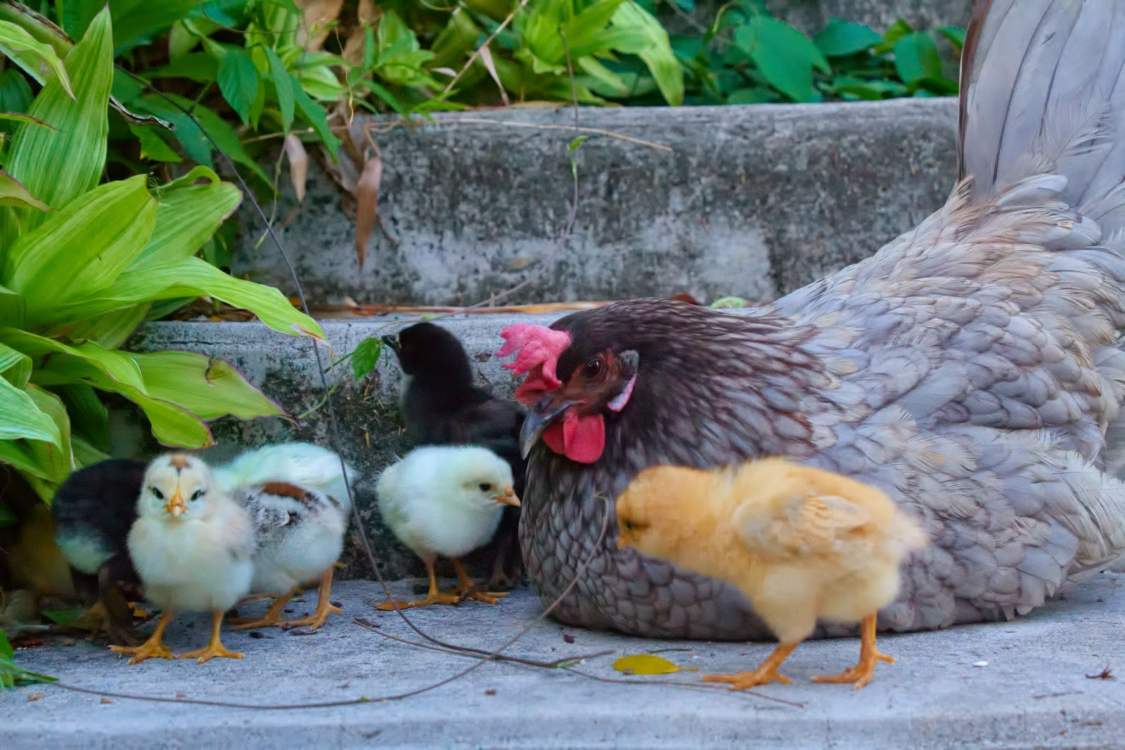 Blue andalusian hen with babies