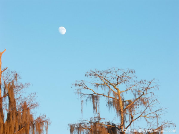 Moon rises in the blue sky over Okefenokee National Wildlife Refuge cypresses