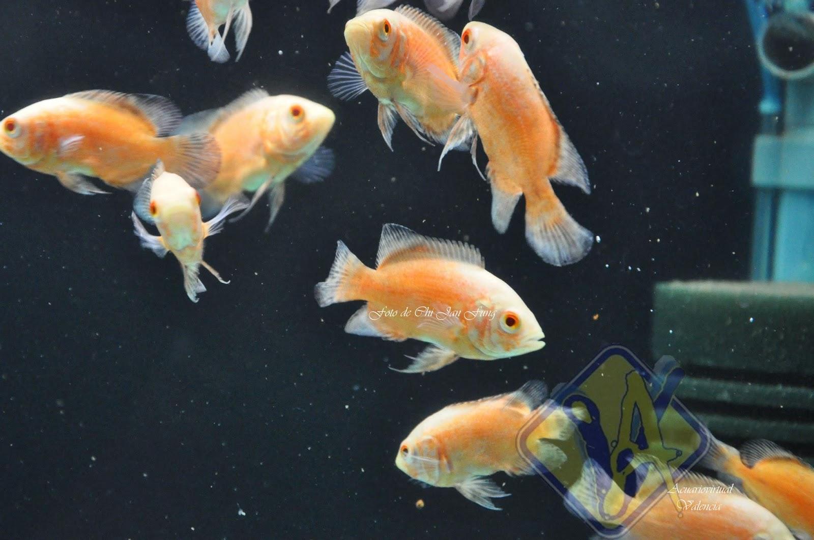Acuario virtual pez oscar alimentacion cuidados y for Peces alimentacion