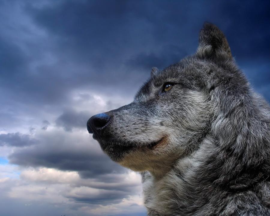 http://1.bp.blogspot.com/-22QHsYkI6BM/TaIhFevH6GI/AAAAAAAAAzI/tlJvam6hM1s/s1600/wolf.jpg