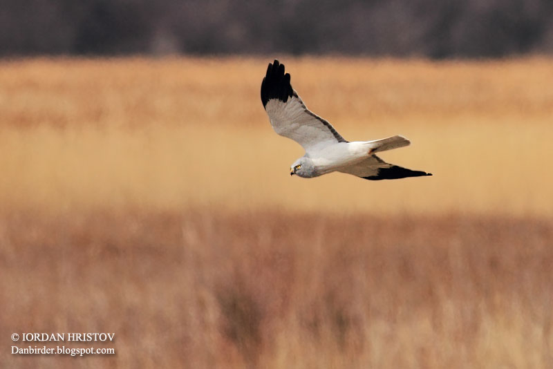 Hen Harrier photography by Iordan Hristov