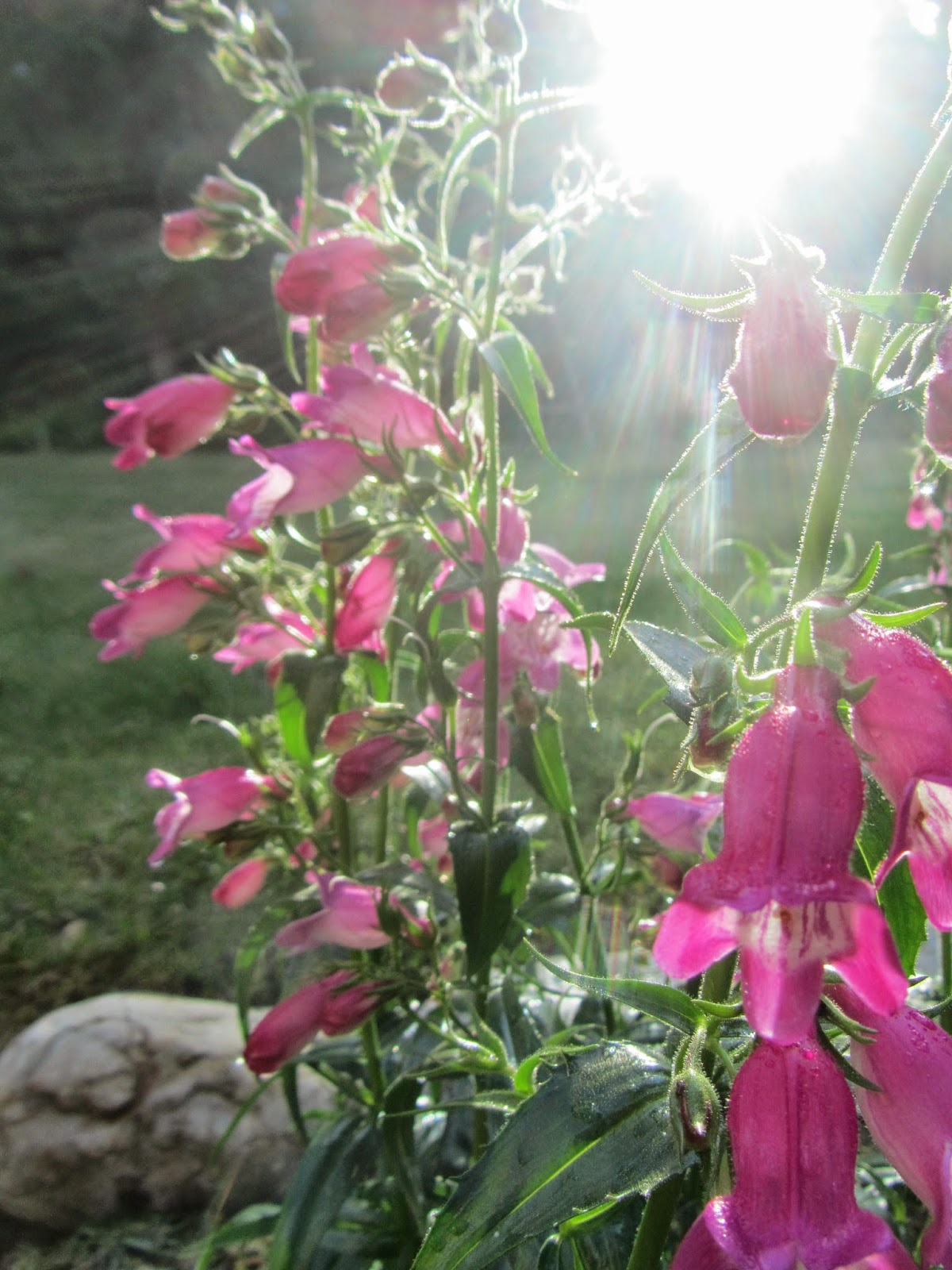 Red Rocks Penstemon blooming in my North Idaho garden