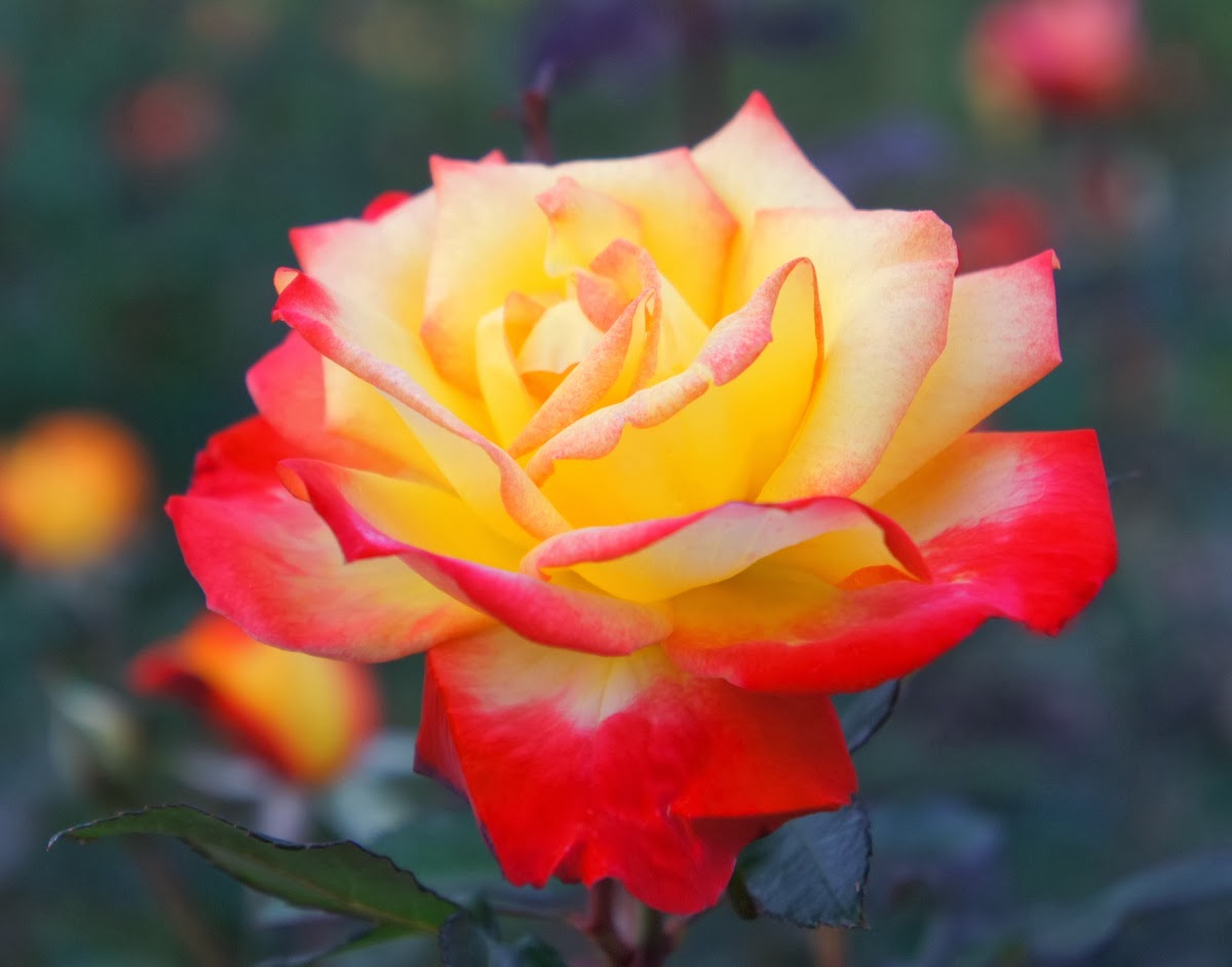 Image Gallery most amazing roses