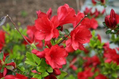 red azalea pictures