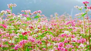 thuê xe lễ hội hoa tam giác mạch