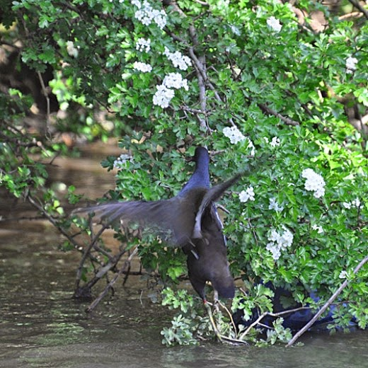adult moorhen climbing into tree
