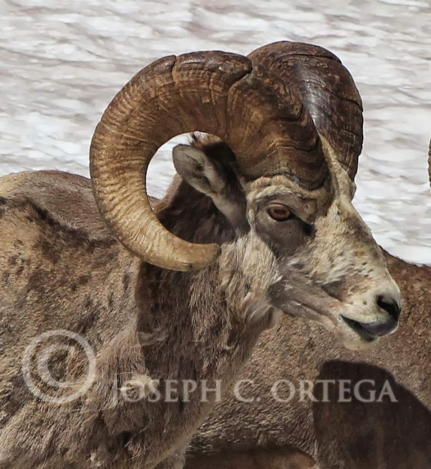 Bighorn Sheep photographed in Glacier National Park