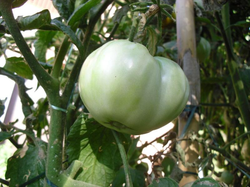 El huerto del lopez los tomates del 2013 cherokee purple - Cuando plantar tomates ...