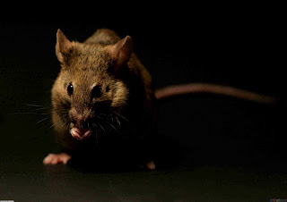 Rats Wallpaper