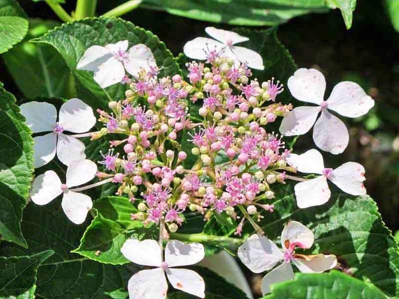 blossoming hydrangea flowers