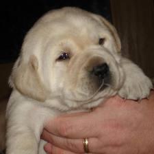 Cucciolo Labrador miele