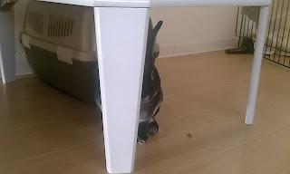 テーブルの足に隠れるうさぎ、ミニレッキス