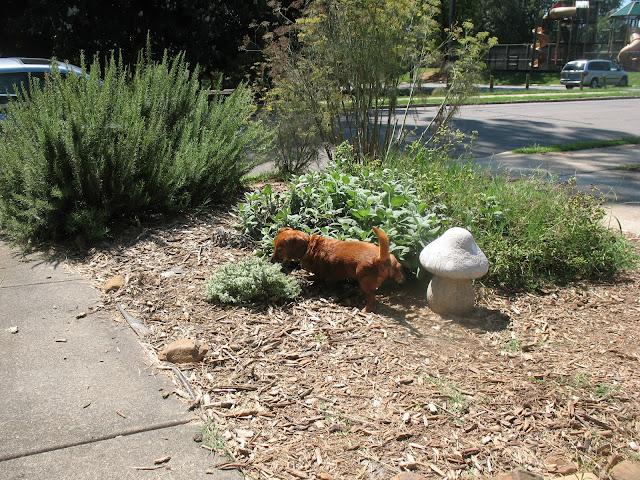 dachshund lifting leg