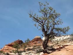 A Zion Tree