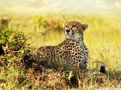 Animals Cheetah HD Backgrounds Photos 1024x768