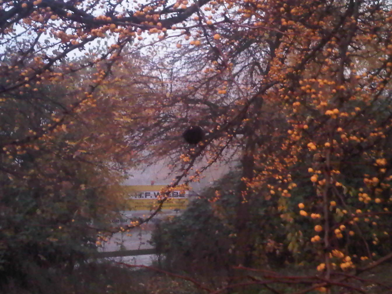 Amsel pickt Beeren - Blackbird picks berries