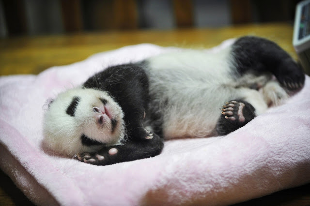 Cute baby pandas born in China, cute baby panda photos, baby pandas
