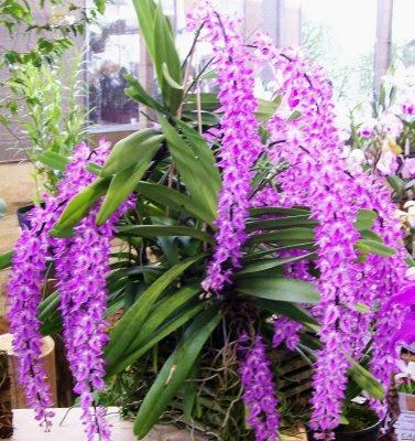 Dicas, fotos e Orquídeas Raras