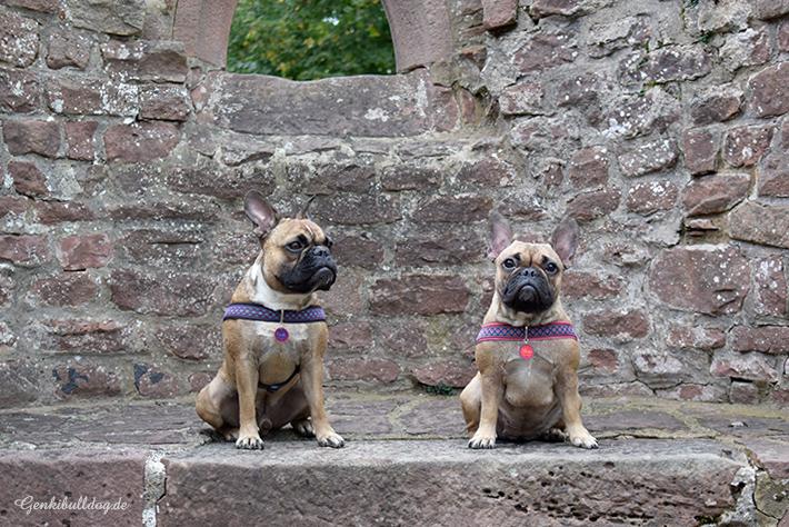 Hundeblog Genki Bulldog
