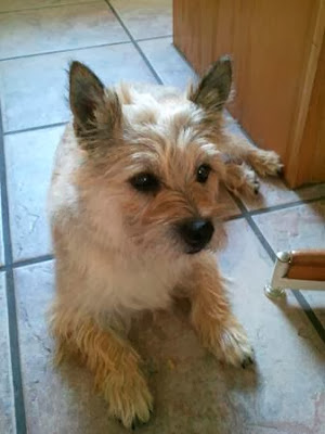 Col. Potter Cairn Rescue Network: Missing Wheaten Cairn ...