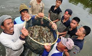 cara budidaya ikan, budidaya udang windu di tambak,udang vaname semi intensif,di kolam terpal,artikel cara budidaya udang vaname,