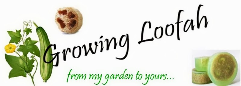 Growing Loofah