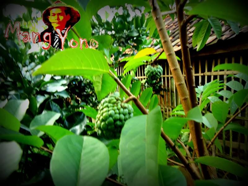 Srikaya atau buah Nona (Annona squamosa) - Blog Mang yono