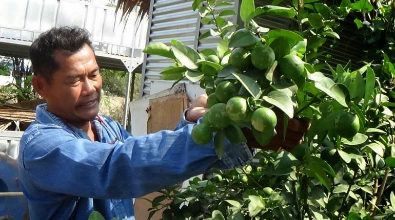 ปลูกมะนาวลูกดก ให้ผลต้นละ 3,000 ลูก
