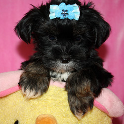 poodles are they misfits among dogs essay Of mice and men' is a novel about misfits english essay  'of mice and men' is a novel about misfits among these groups are or were.