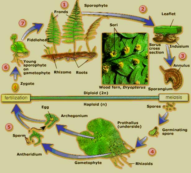 PERBEDAAN LUMUT DAN PAKU | BIOLOGI SMA