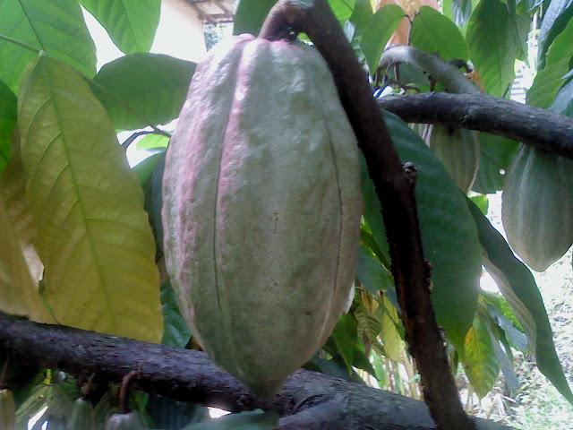 see cocoa ranweli spice garden