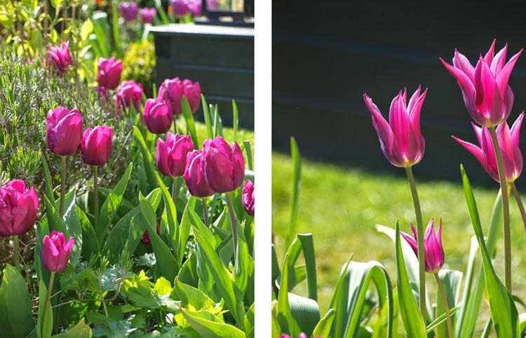 Tulipaner Purple Prince og Maytime er smukke lilla tulipaner til haven